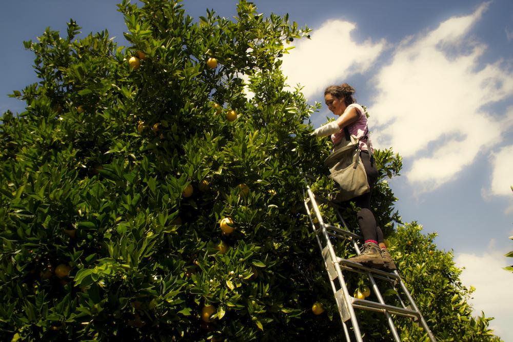 Nom : Arbres oranges Australie.jpg Affichages : 566 Taille : 813,2 Ko