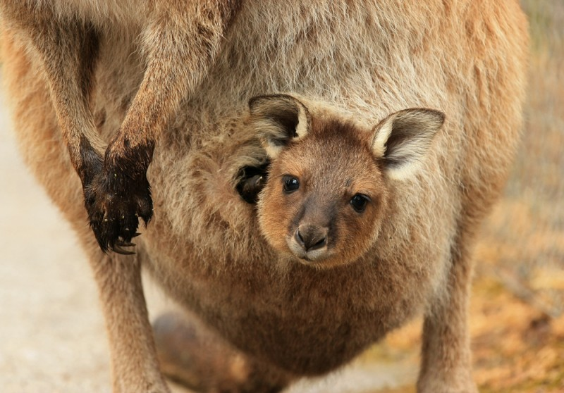 Les kangourous