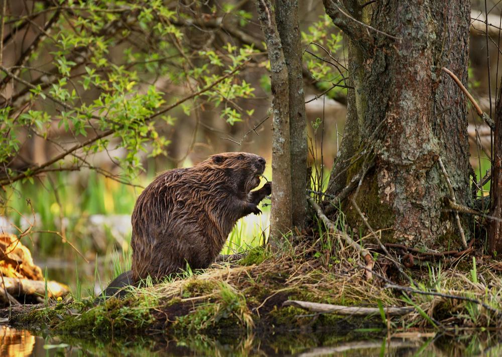 Les animaux du canada for Castor habitat