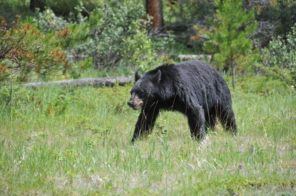 ours-noir-banff