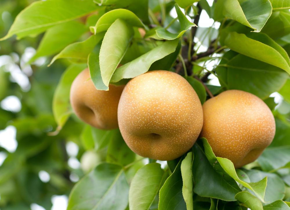 nashi-fruit-picking-australie