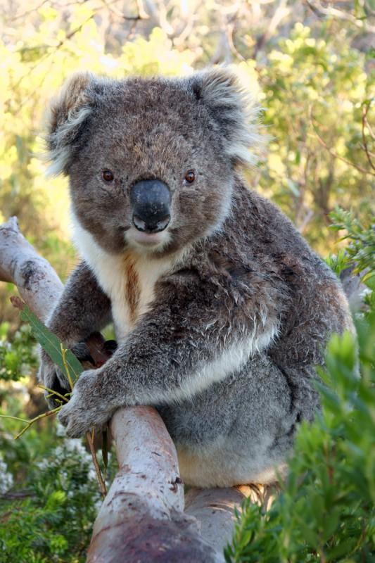 Koala_Australie_Great_Ocean_Road
