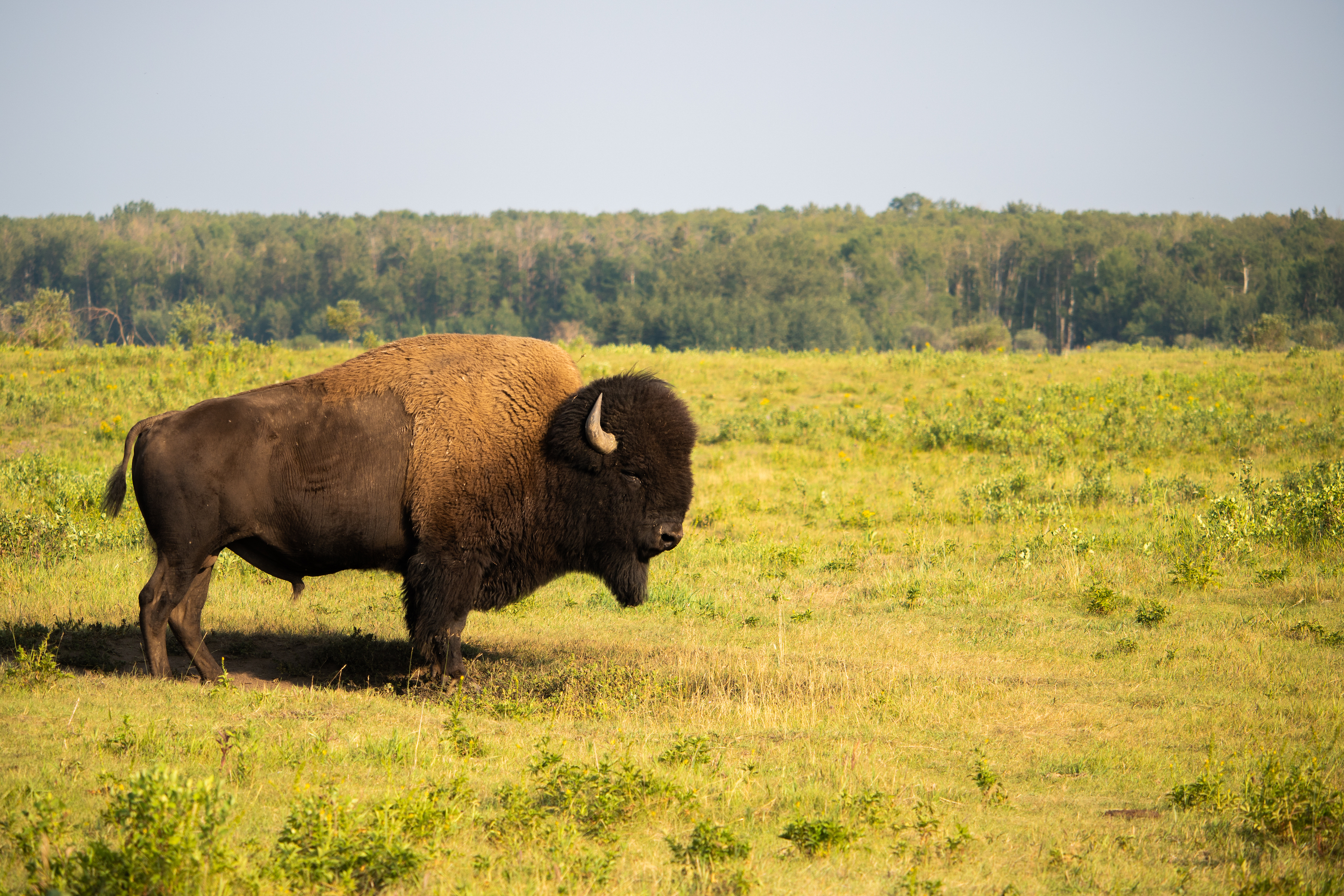 parc national de Wood Buffalo - Bison - Canada