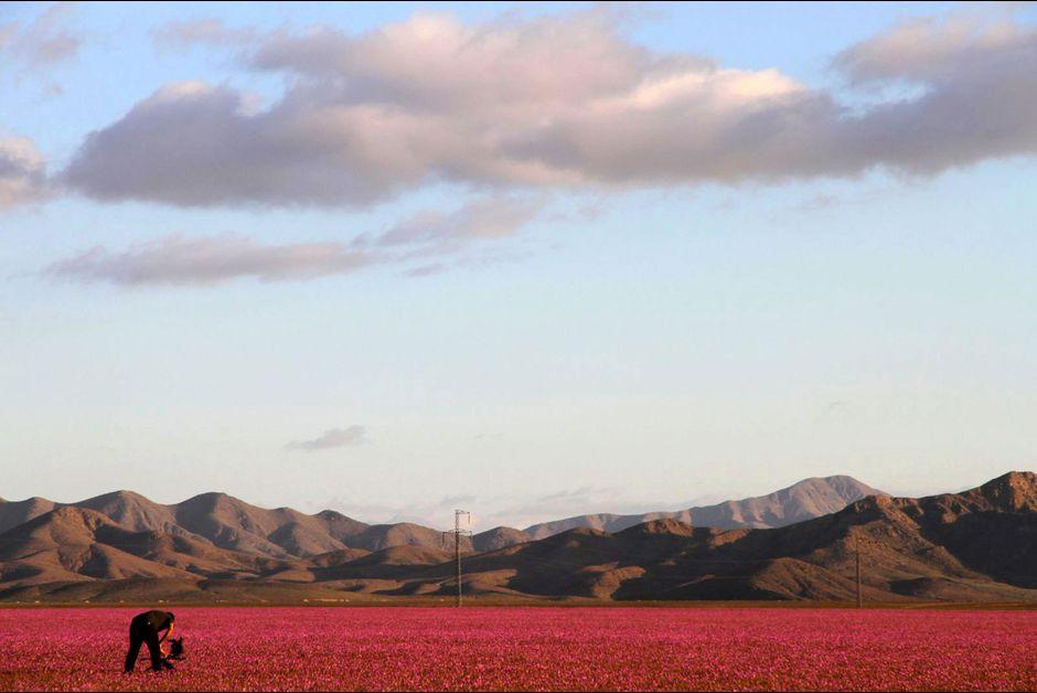 Desert Atacam Chili en fleur El nino