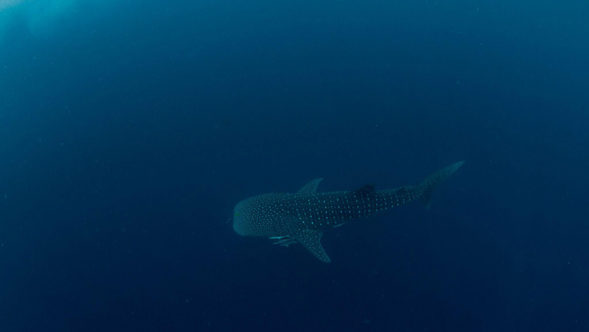 Cedric - Patissier en Australie - Requin baleine