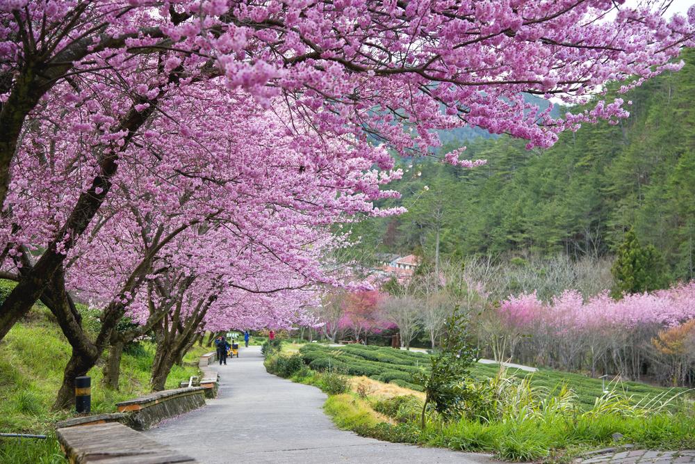 Cerisier - Sakura_ Wuling Farm - PVT Taiwan