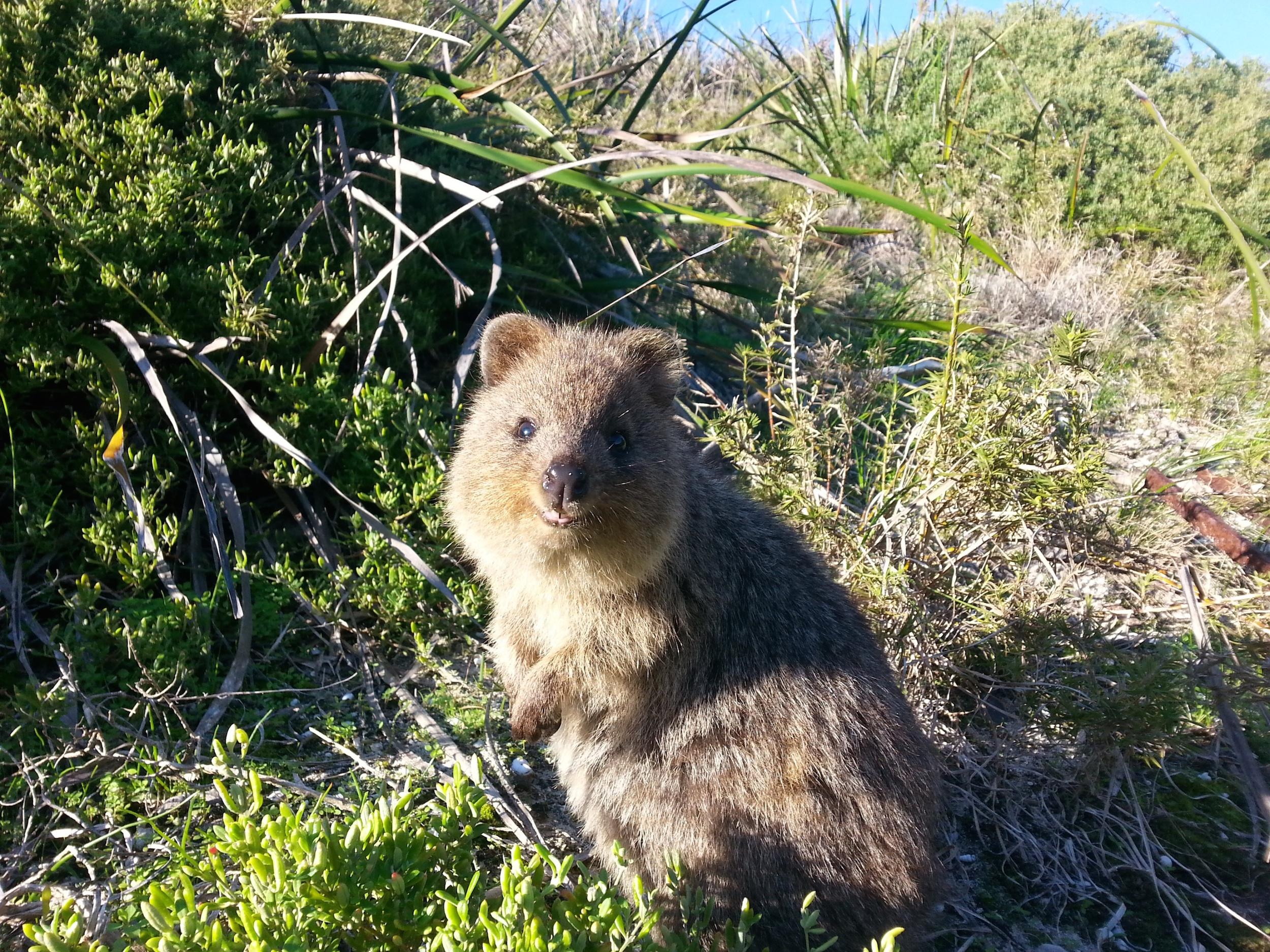 Rottnest Island - Australie - Quokka