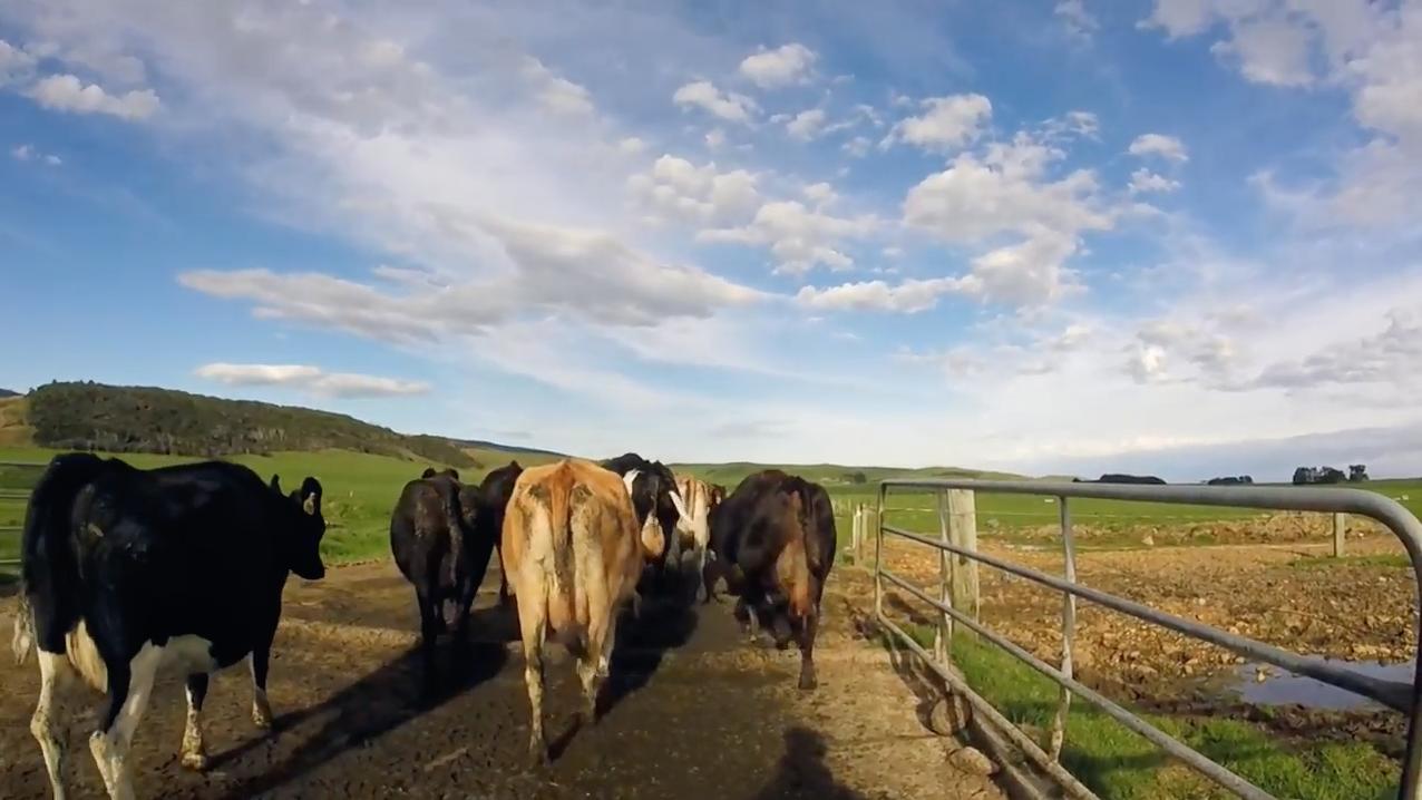 traire des vaches en Nouvelle-Zelande 2