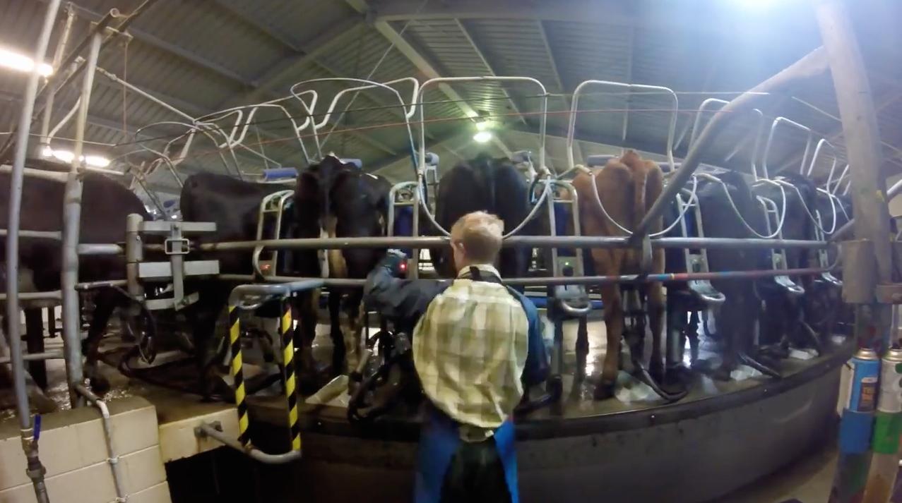 traire des vaches en Nouvelle-Zelande 3
