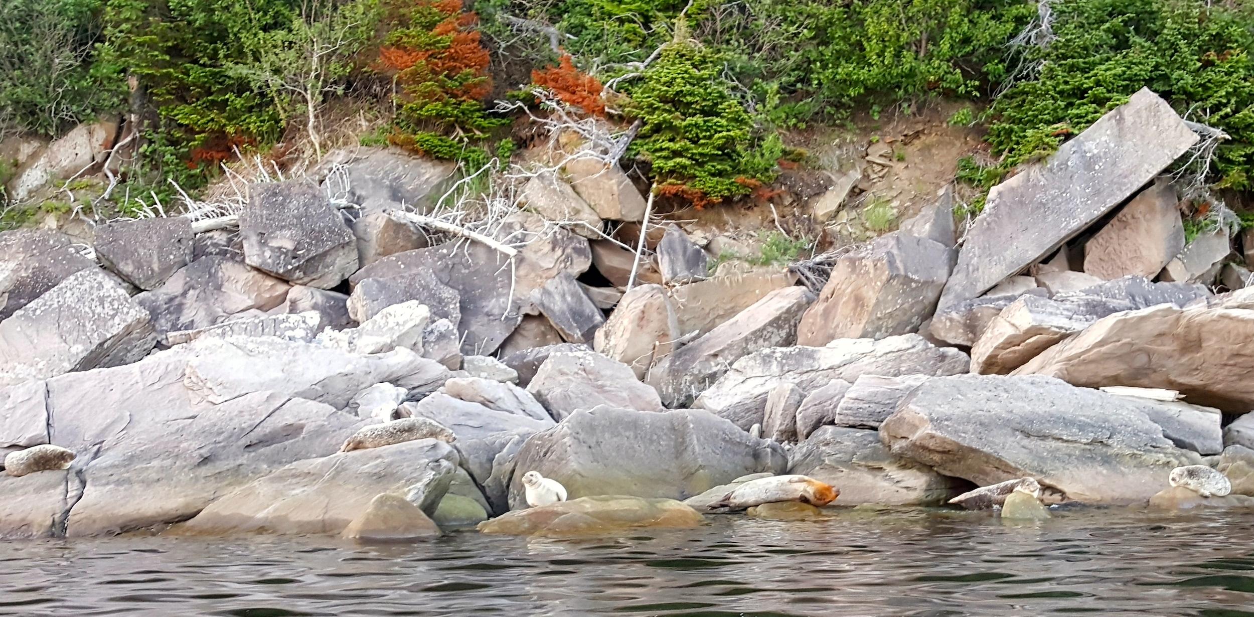 Colonie de phoques - parc Forillon - Canada