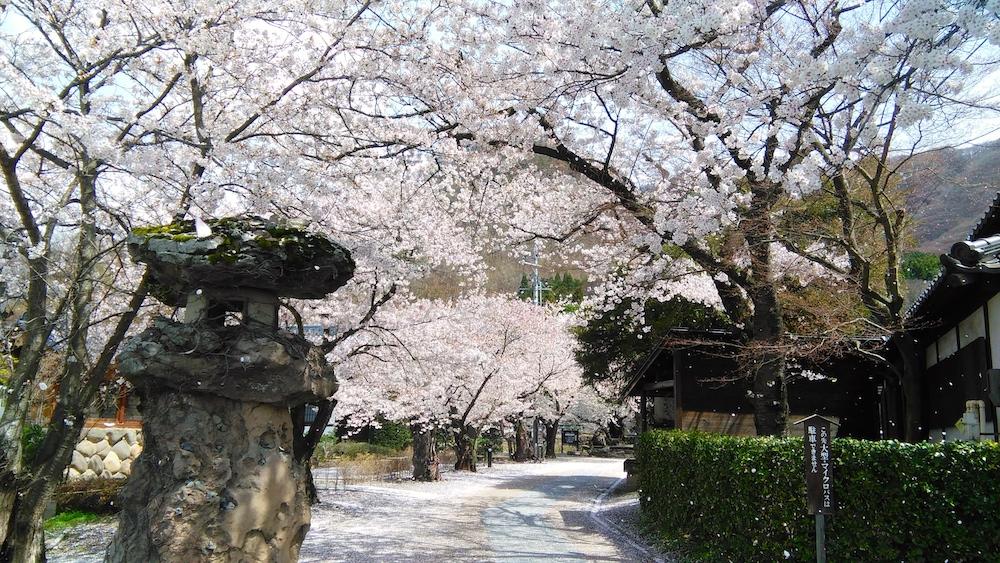 Bilan de mon PVT Japon - Cerisiers