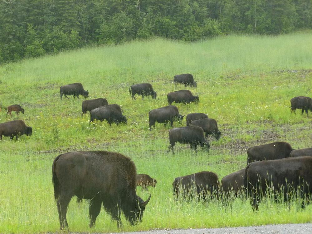 42-Bisons, Alaska Highway