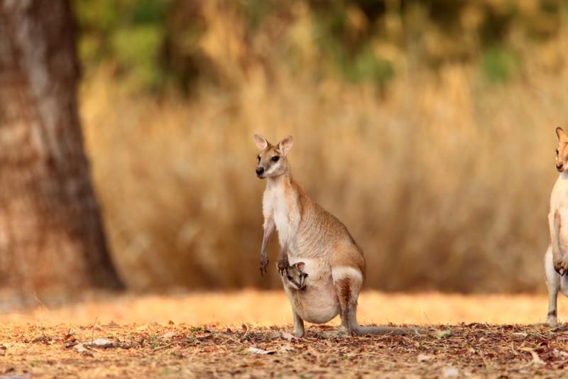 agile-wallaby