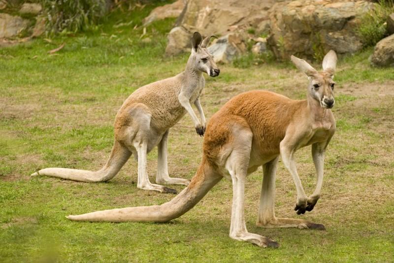 kangourou-roux