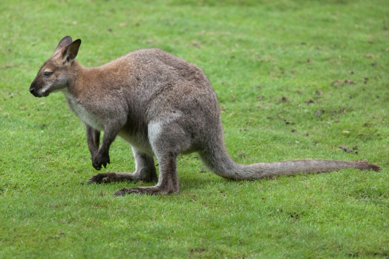 wallaby-cou-rouge-benett