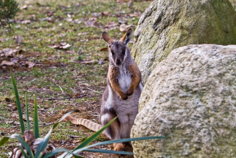 yellow-footed-rock-wallaby