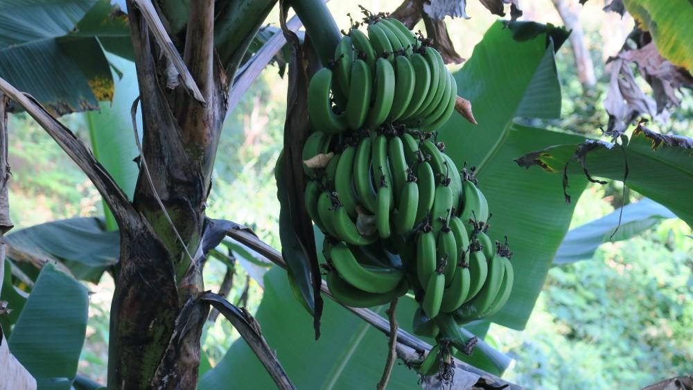 pvt-colombie-minca-bananes