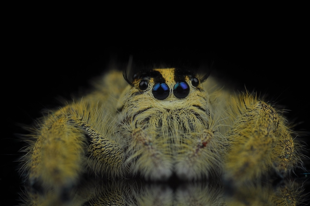 jumping-spider-3027277_1920