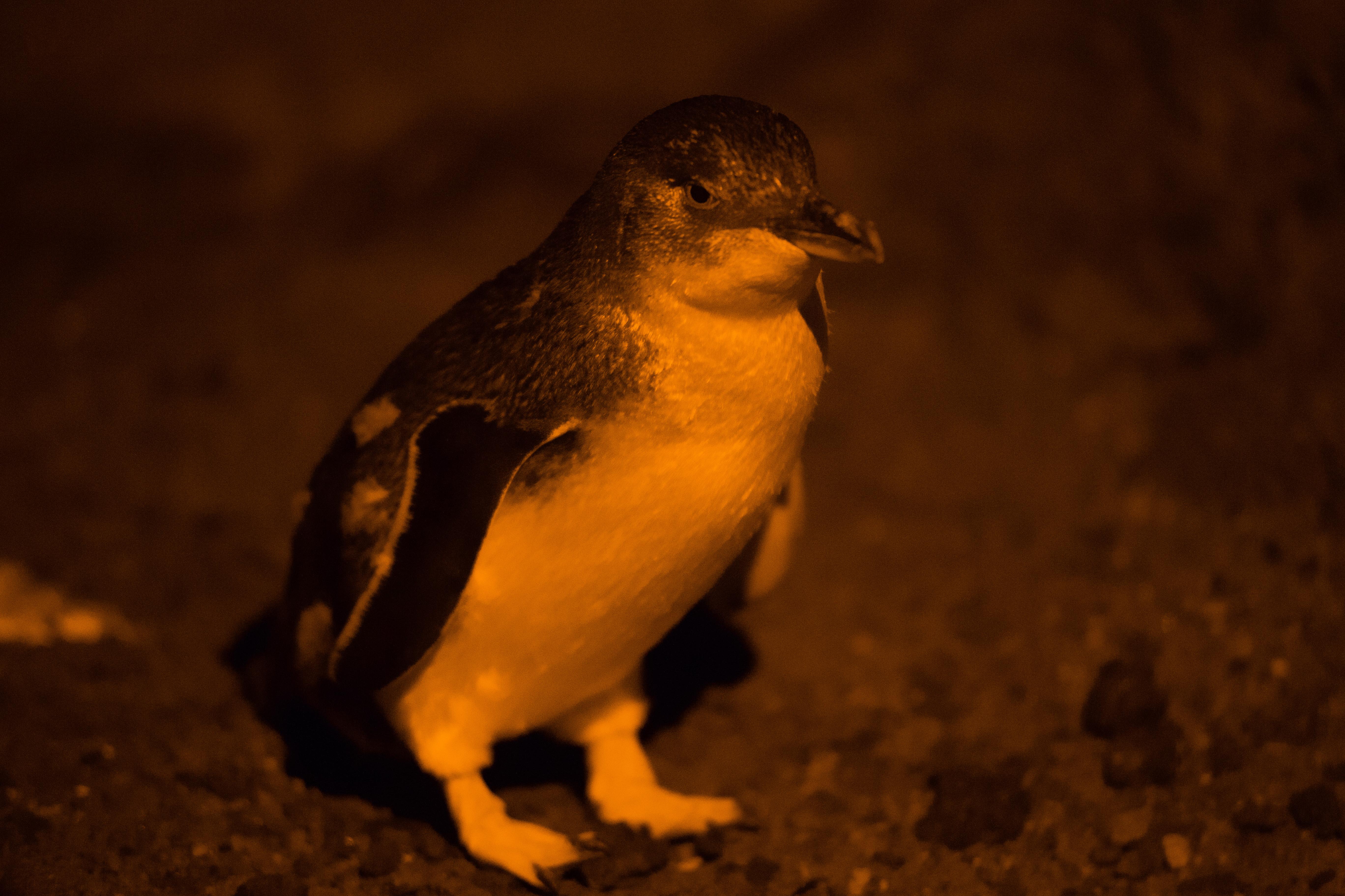 Manchots-St-Kilda-fairy-penguins-2