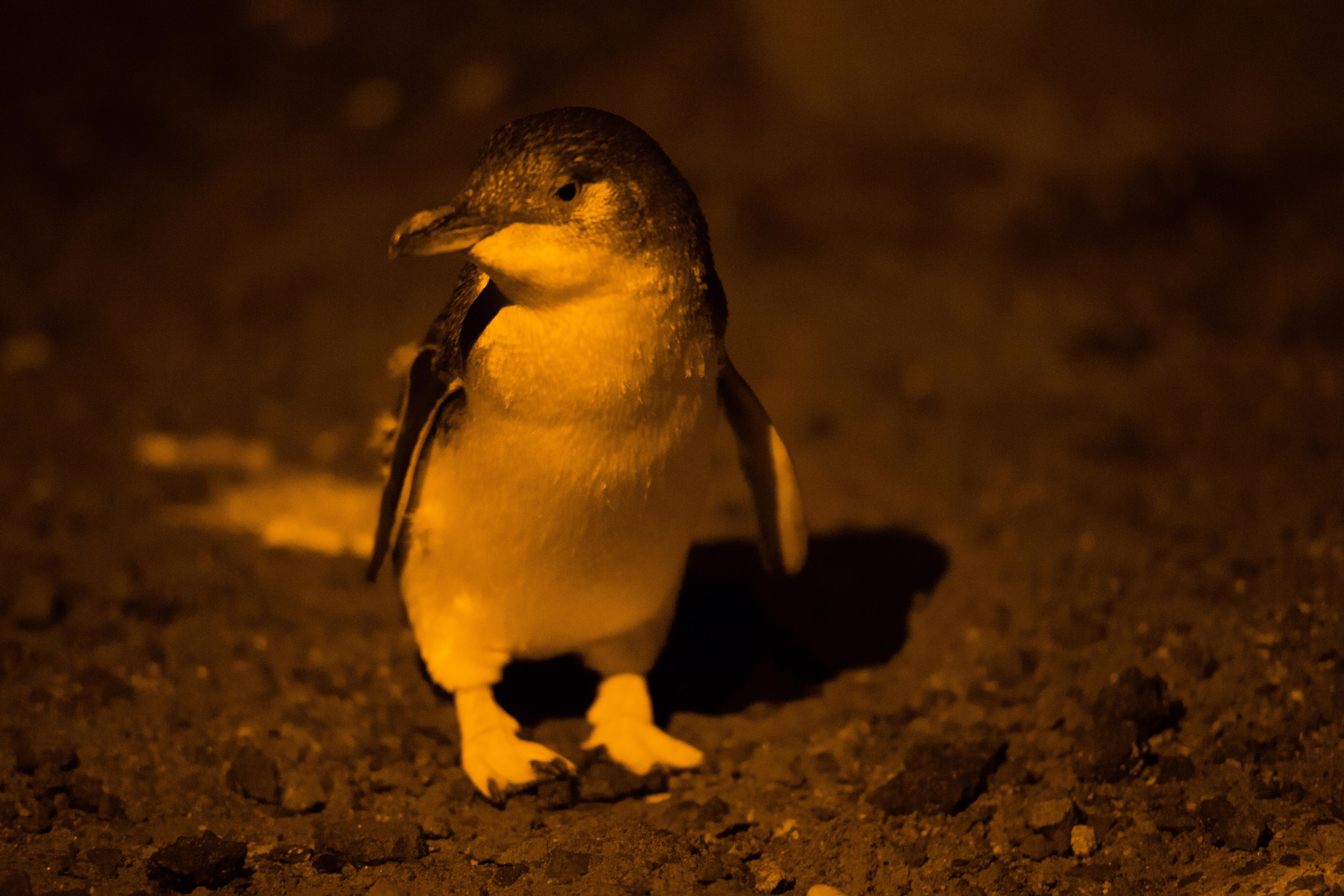 Manchots-St-Kilda-fairy-penguins-3