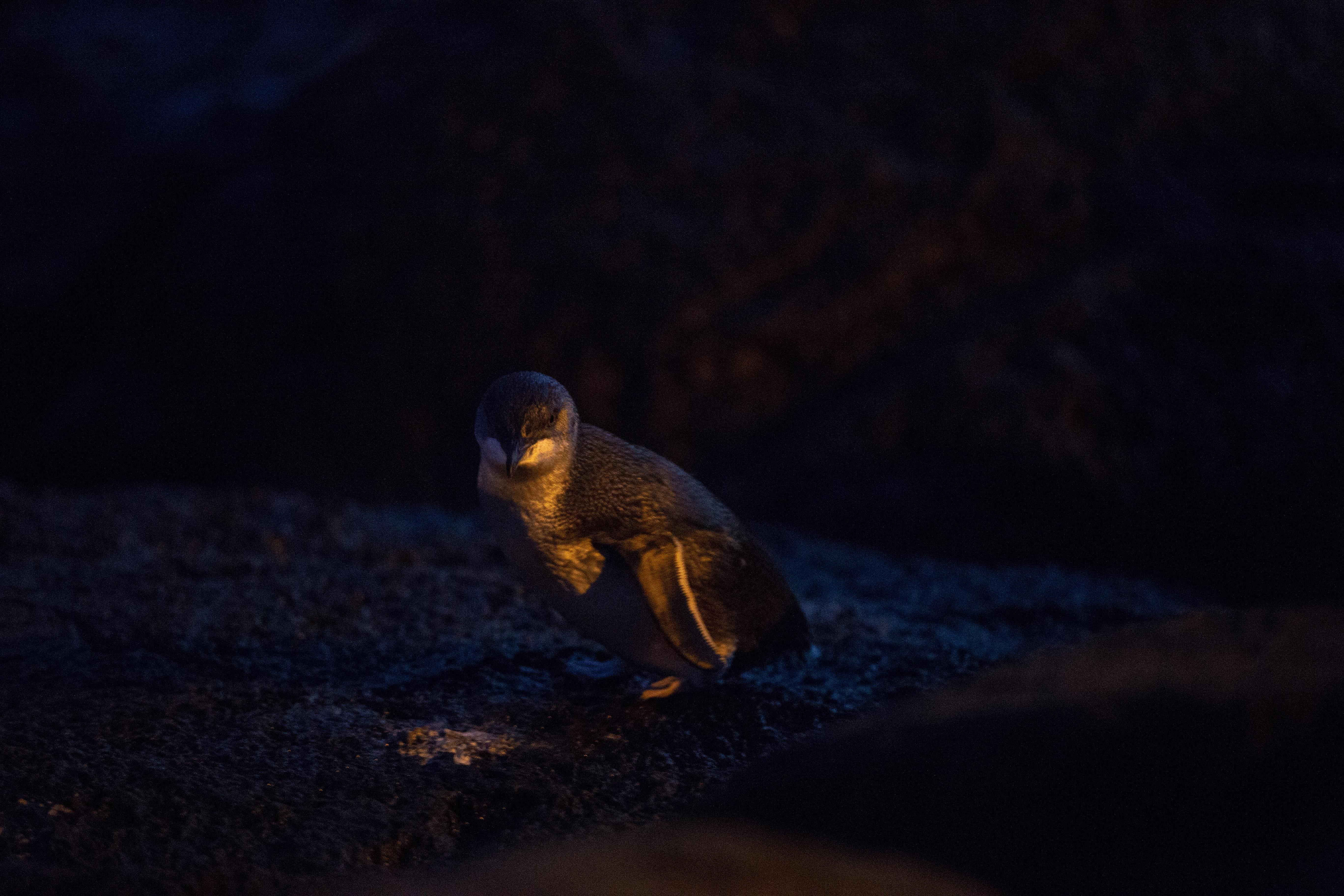 Manchots-St-Kilda-fairy-penguins-5