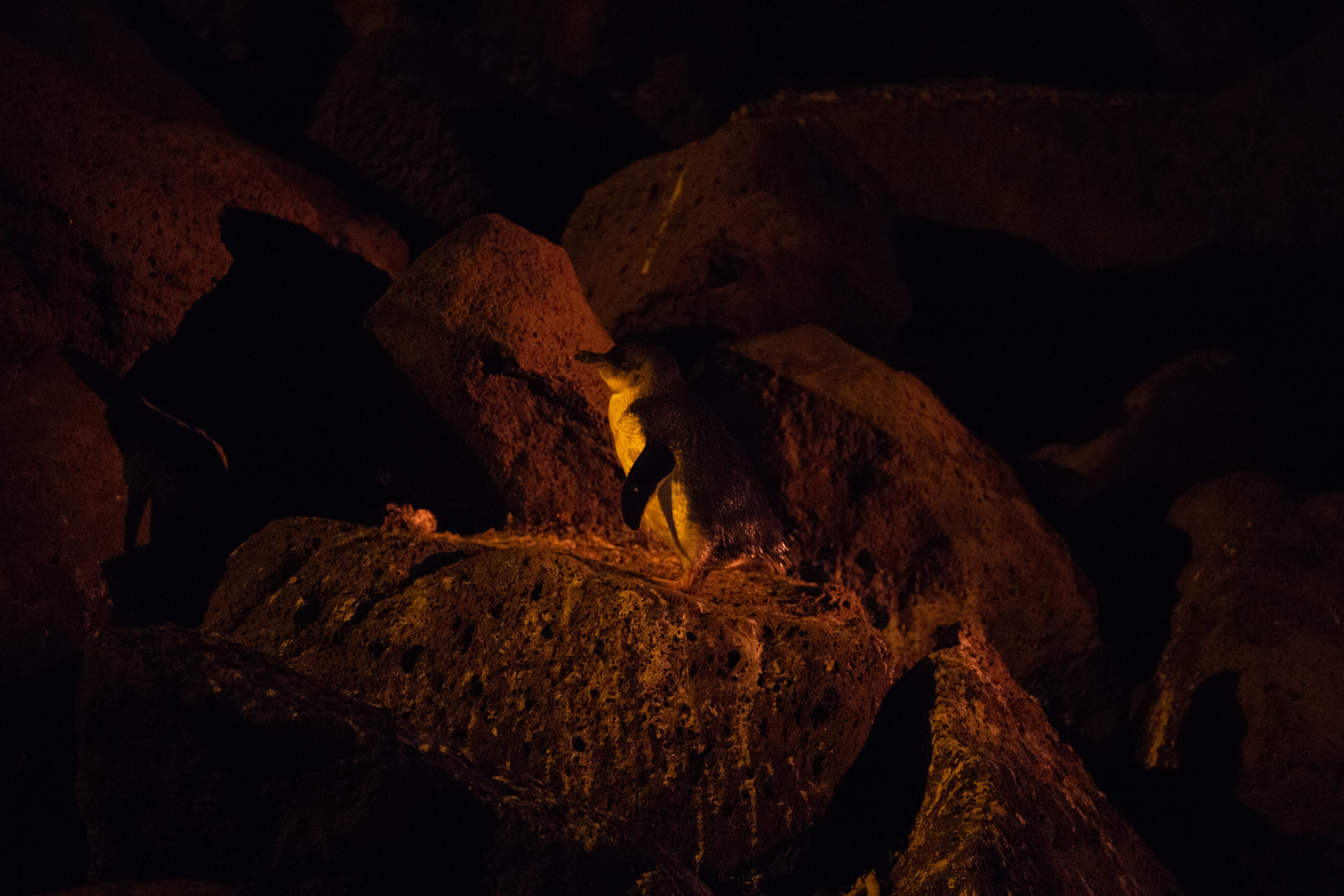 Manchots-St-Kilda-fairy-penguins-8