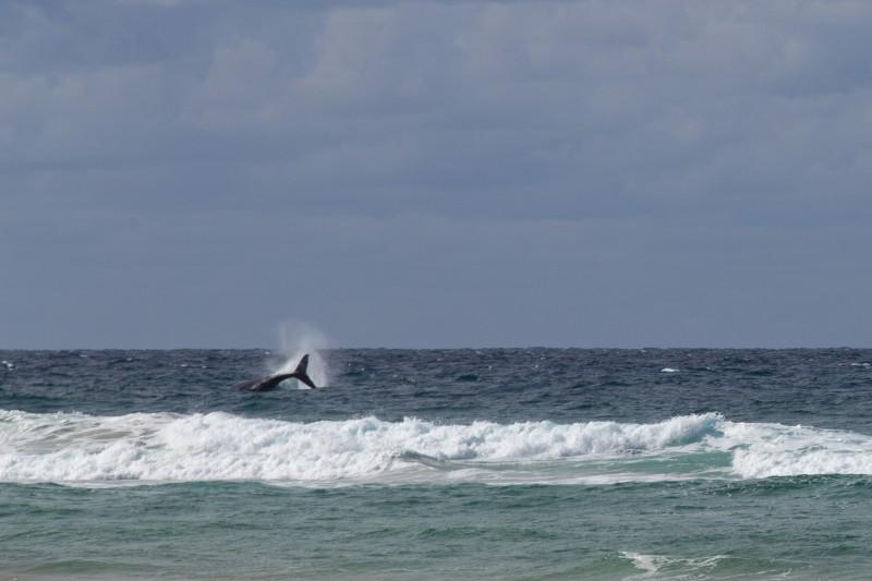 Fraser-Island-Baleine