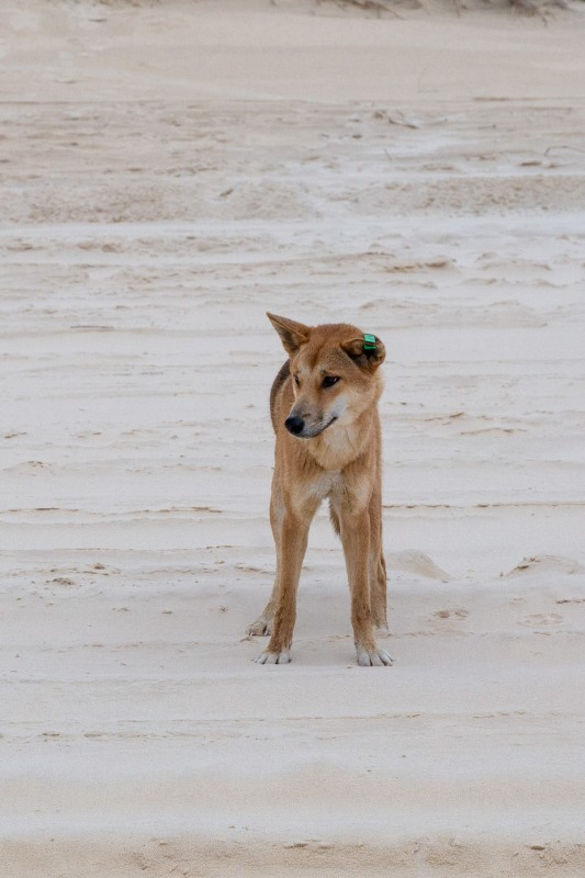 Fraser-Island-Dingo-2