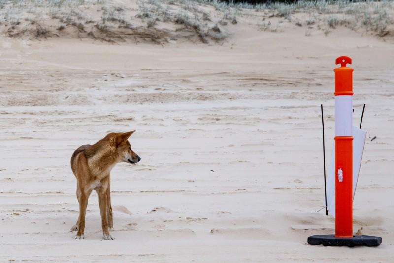 Fraser-Island-Dingo