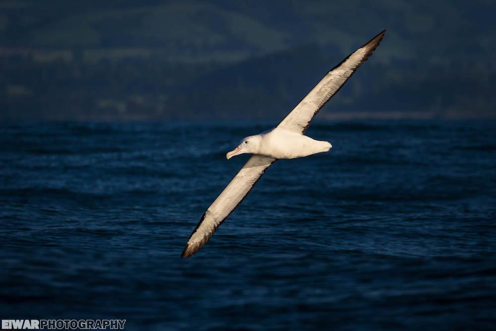 albatros_de_sanford