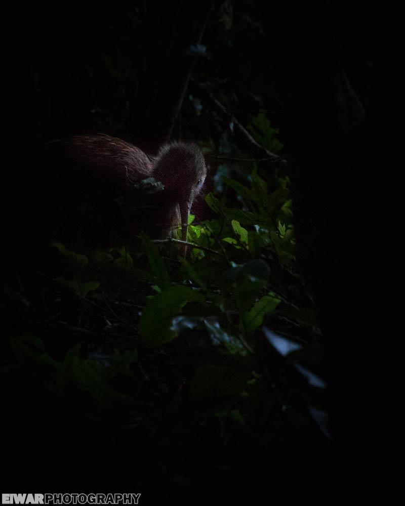 kiwi_austral
