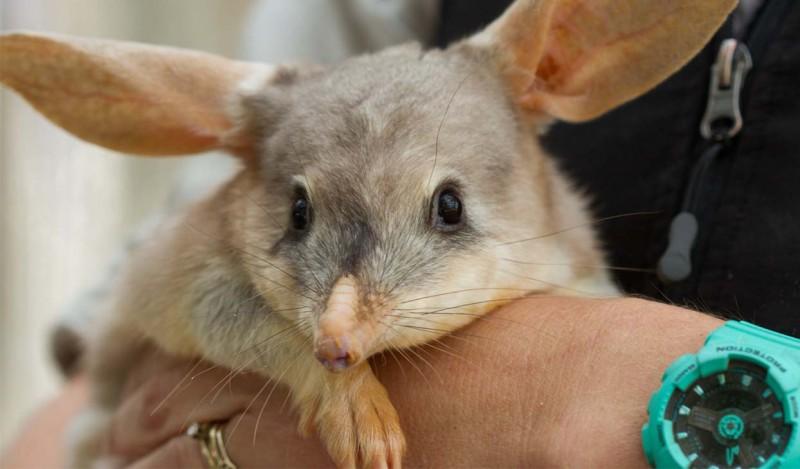 Bilby animaux les plus mignons d'Australie