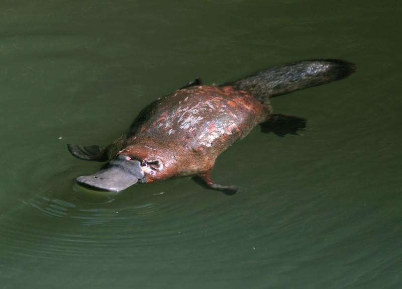 platypus animaux les plus mignons Australie