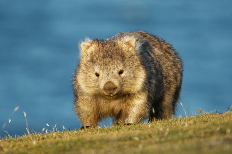 wombat animaux les plus mignons Australie