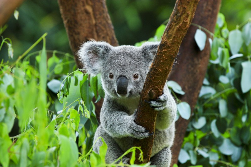 koala animaux les plus mignons Australie