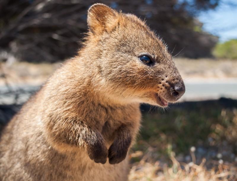 quokka animaux les plus mignons Australie