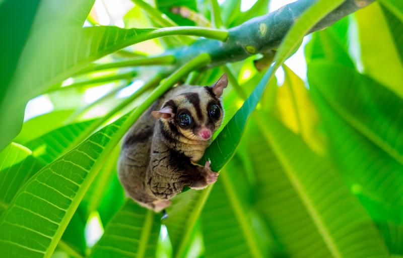 sugar glider animaux les plus mignons Australie