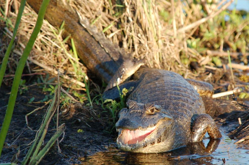 caiman-argentine-animaux