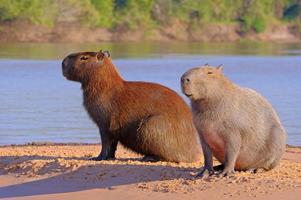 capibara-argentine-animaux