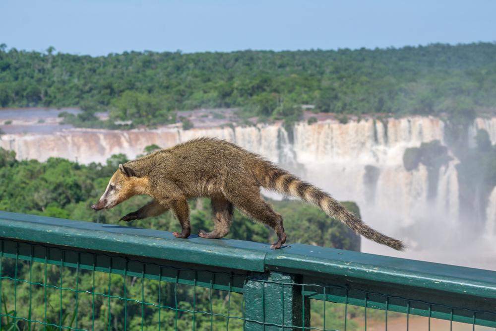 coati-animaux-argentine