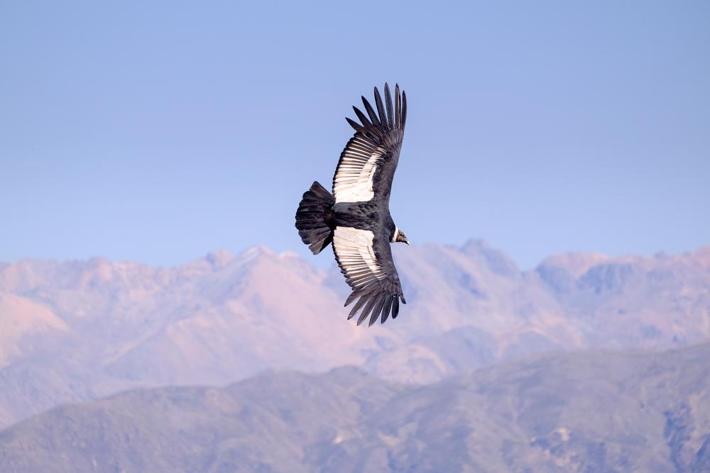 condor-argentine-animaux