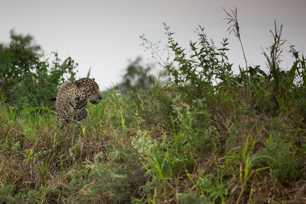 jaguar-animaux-argentine