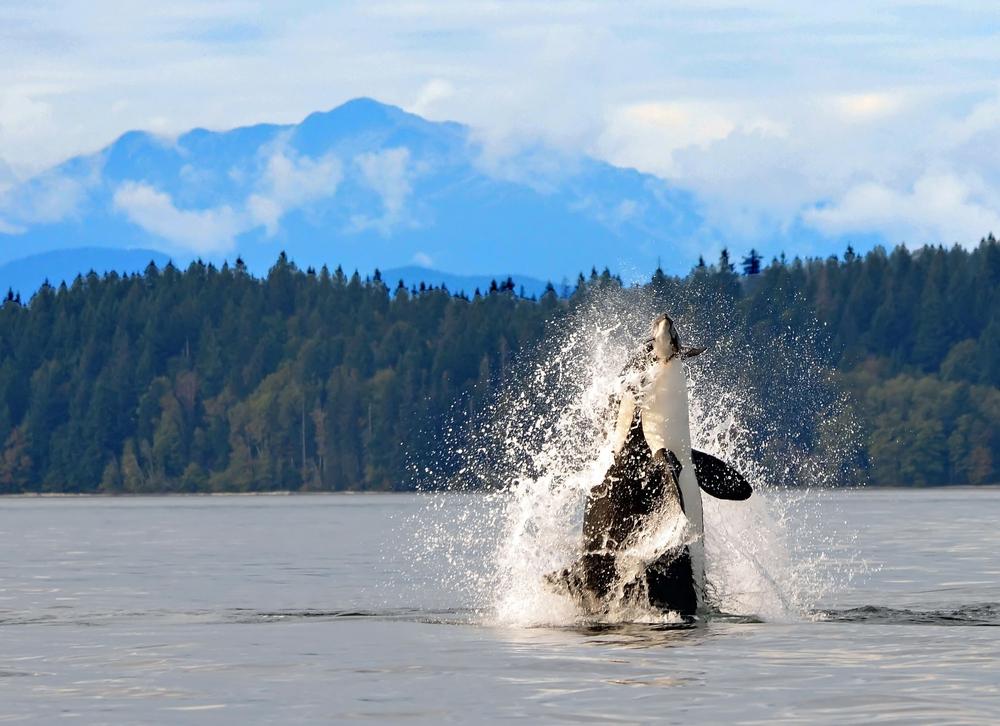 observation-orques-colombie-britannique-pvt-canada