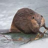 Avatar de beaverOne